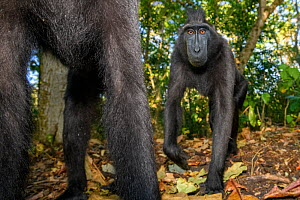 Sulawesi black macaques (Macaca nigra) walking past remote camera, on forest floor. Tangkoko National Park, Sulawesi, Indonesia.  -  Nick Garbutt