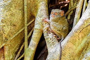 RF - Spectral tarsier (Tarsius spectrum) in day-time roost tree (Ficus sp.). Tangkoko National Park, Sulawesi, Indonesia. (This image may be licensed either as rights managed or royalty free.)  -  Nick Garbutt
