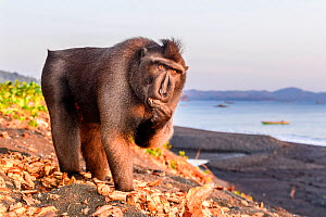 RF - Sulawesi or Celebes black macaque (Macaca nigra) foraging on exposed beach at low tide. Tangkoko National Park, Sulawesi, Indonesia. (This image may be licensed either as rights managed or royalt...  -  Nick Garbutt