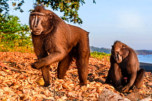 Sulawesi or Celebes c black macaque (Macaca nigra) foraging on exposed beach at low tide. Tangkoko National Park, Sulawesi, Indonesia.  -  Nick Garbutt