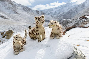 Felt snow leopard toys made by villagers. Part of a broader eco tourism initiative to augment their income and change local attitudes towards snow leopards. Ulley Valley, Himalayas, Ladakh, northern I...  -  Nick Garbutt