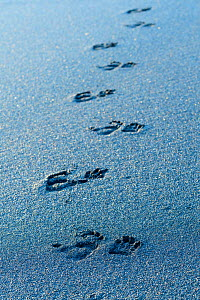 Foot prints of Sulawesi black macaque (Macaca nigra) on black sand beach. Tangkoko National Park, Sulawesi, Indonesia.  -  Nick Garbutt