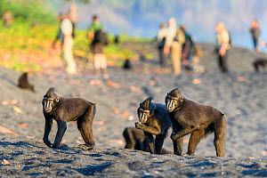 Sulawesi or Celebes black macaques (Macaca nigra) foraging on exposed beach at low tide. Tangkoko National Park, Sulawesi, Indonesia.  -  Nick Garbutt