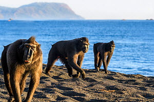 Sulawesi black macaques (Macaca nigra) males foraging on exposed beach at low tide. Tangkoko National Park, Sulawesi, Indonesia.  -  Nick Garbutt