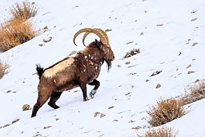 Siberian ibex (Capra sibirica) having just escaped predation by a snow leopard (Panthera uncia) - see scarring and wounds on flank. Ladakh Ranges, western Himalayas, Ladakh, India.  -  Nick Garbutt