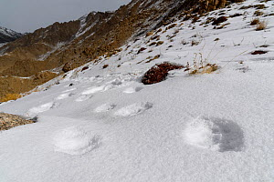 Foot prints (pug marks) of snow leopard (Panthera uncia) in snow on ridge line. Ladakh Ranges, Himalayas, Ladakh, India.  -  Nick Garbutt