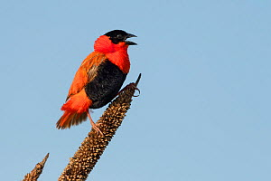 Northern red bishop ( Euplectes franciscanus) male calling, perched on flower head. Bansang, Gambia.  -  Bernard Castelein