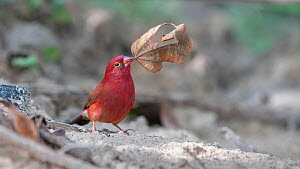 Red-billed firefinch (Lagonosticta senegala) carrying leaf nesting material in beak. Tentaba, Gambia.  -  Bernard Castelein