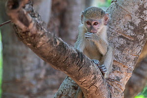 Green monkey (Chlorocebus sabaeus) baby sitting in fork of tree. Janjanbureh, Gambia.  -  Bernard Castelein
