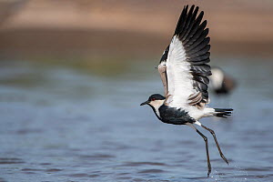 Spur-winged lapwing (Vanellus spinosus) taking off, spur visible on wing edge. Allahein River, Gambia.  -  Bernard Castelein