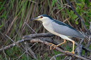 Black-crowned night heron (Nycticorax nycticorax) perched in tree. Allahein River, Gambia.  -  Bernard Castelein