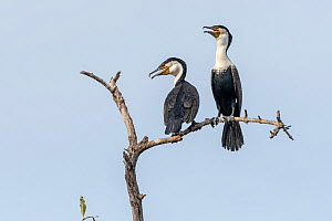 White-breasted cormorant (Phalacrocorax lucidus), two with open beaks, perched on tree snag. Bao Bolong Wetland Reserve, Gambia.  -  Bernard Castelein