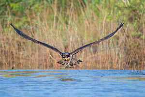 Osprey (Pandion haliaetus) juvenile carrying fish in talons, flying with wings in v-shape. Allahein River, Gambia.  -  Bernard Castelein