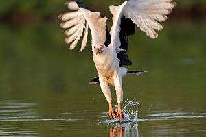 Palm-nut vulture (Gypohierax angolensis) catching fish over water. Allahein River, Gambia.  -  Bernard Castelein