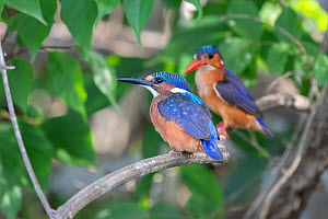 Malachite kingfisher (Alcedo cristata), two perched on branch, juvenile in foreground, adult in background. Allahein River, Gambia.  -  Bernard Castelein