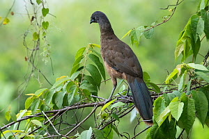 Plain chachalaca (Ortalis vetula) perched in tree. Las Guacamayas Biological Station, Laguna del Tigre National Park, El Peten, Guatemala.  -  Claudio Contreras