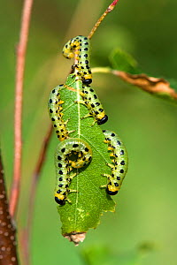 Dusky birch sawfly (Craesus latitarsus) larvae on the leaves on a young silver birch tree (Betula pendula) Berkshire, September  -  Nigel Cattlin