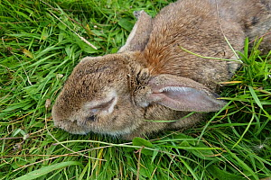 Rabbit (Orycolagus cuniculus) severely affected by myxomatosis caused by Myxoma virus a fatal disease, Berkshire, September  -  Nigel Cattlin