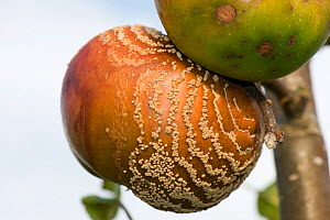 Brown rot (Monilinia fructigena) concentric rings of pustules emanating from a damage site on the fruit, Berkshire, September  -  Nigel Cattlin
