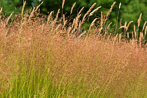 Common bent (Agrostis capillaris) purple/red dense rhizomatous and stoloniferous meadow grass in flower, Berkshire, July  -  Nigel Cattlin
