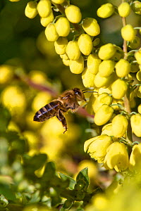 Honey bee (Apis mellifera) flying to forage on yellow Mahonia 'Winter Sun' flowers on a fine Christmas day in mid winter, Berkshire, December  -  Nigel Cattlin