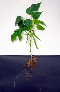 French or green bean (Phaseolus vulgaris) plant structure, roots, leaves and pods  -  Nigel Cattlin