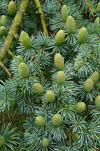 Immature green cones of Deodar cedar (Cedrus deodara) among needles on a tree, Hampshire, England, August  -  Nigel Cattlin