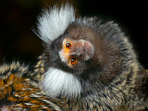 Common marmoset (Callithrix jacchus) with head tilted, captive, occurs in Brazil.  -  Ernie Janes