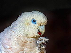 Solomons cockatoo (Cacatua ducorpsii) feeding, captive, occurs in Solomon Islands  -  Ernie Janes