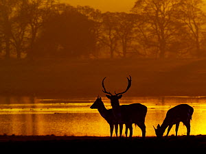 Fallow deer (Cervus dama) stags at sunset, Holkham Park, North Norfolk, UK, January.  -  Ernie Janes