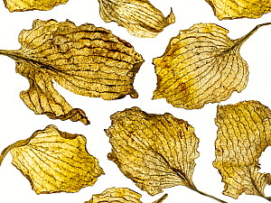Hosta dead leaves placed on white background  -  Ernie Janes