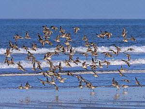 Knot (Caldris canutus) flock in flight on Titchwell beach, Norfolk, England, UK. November.  -  Ernie Janes