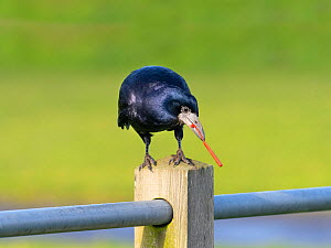 Rook (Corvus frugilegus) eating plastic rubbish, Norfolk, England, UK, November.  -  Ernie Janes