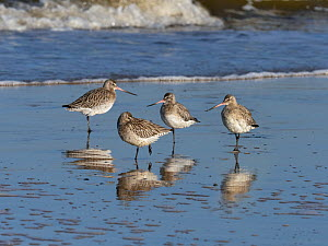 Bar-tailed godwits (Limosa lapponica) group of dour, Titchwell beach, Norfolk, England, UK. November.  -  Ernie Janes
