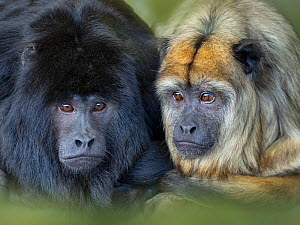 Black howler (Alouatta caraya) male and female, portrait, captive.  -  Ernie Janes