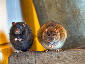 Two Brown rats (Rattus norvegicus) colour variations in farm barn  -  Ernie Janes