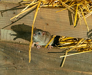 RF - Brown rats (Rattus norvegicus) in farm barn (This image may be licensed either as rights managed or royalty free.)  -  Ernie Janes