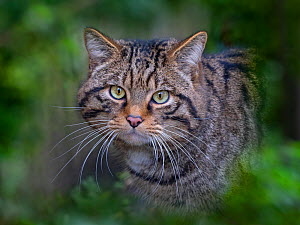 RF - European wildcat (Felis silvestris silvestris) portrait, captive.Green foliage digitally added (This image may be licensed either as rights managed or royalty free.)  -  Ernie Janes