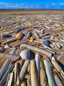 RF - Mass of Razor shells (Ensis siliqua) washed up on Titchwell beach, Norfolk, England, UK. March. (This image may be licensed either as rights managed or royalty free.)  -  Ernie Janes