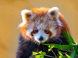 RF - Red panda (Ailurus fulgens) portrait, captive, occurs in Himalayas. (This image may be licensed either as rights managed or royalty free.)  -  Ernie Janes