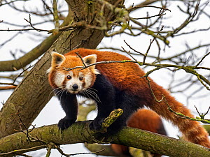 RF - Red panda (Ailurus fulgens) portrait, captive occurs in the eastern Himalayas. (This image may be licensed either as rights managed or royalty free.)  -  Ernie Janes
