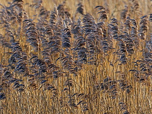 RF - Reed (Phragmites communis) bed, Norfolk (This image may be licensed either as rights managed or royalty free.)  -  Ernie Janes