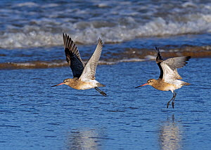 RF - Bar-tailed godwits (Limosa lapponica) in flight over the Wash, Norfolk, England, UK. December. (This image may be licensed either as rights managed or royalty free.)  -  Ernie Janes