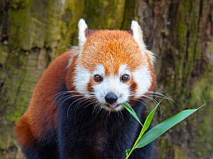 RF - Red panda (Ailurus fulgens) feeding on bamboo leaves, captive. (This image may be licensed either as rights managed or royalty free.)  -  Ernie Janes