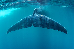 Tail of Blue whale (Balaenoptera musculus brevicauda). This may be the pygmy sub-species of blue whale, Balaenoptera musculus. Mirissa, Sri Lanka, Indian Ocean  -  Franco Banfi