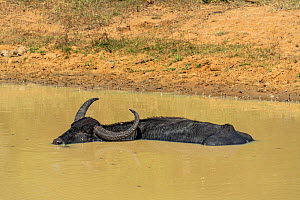 Water buffalo (Bubalus bubalis) soaking to cool down from the heat, Yala National Park, Southern Province, Sri Lanka.  -  Franco Banfi