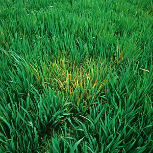 Focus of infection of barley yellow dwarf virus (BYDV), red leaf damage symptoms on young oat crop, Hampshire, England, UK.  -  Nigel Cattlin