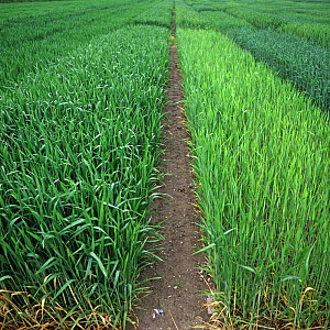Experimental plots of Triticale (var. salvo) showing normal fertilizer application nitrogen (left) compared with no nitrogen which is shorter, weaker and yellower (right)  -  Nigel Cattlin
