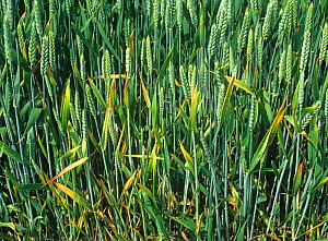 Focus of infection of BYDV (barley yellow dwarf virus) with chlorosis and leaf tipping symptoms in maturing wheat crop in ear. England, UK.  -  Nigel Cattlin