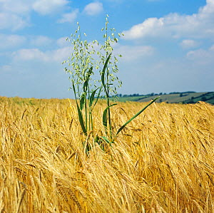 Wild oats (Avena fatua) flowering grasses with green leaves and panicles in ripe golden barley crop  -  Nigel Cattlin